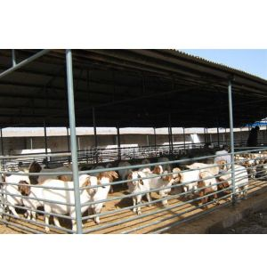 供应东北可以买到肉羊吗有没有卖种羊的