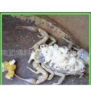 供应蝎子养殖加盟怎么样 蝎子养殖加盟公司电话-河南涵博