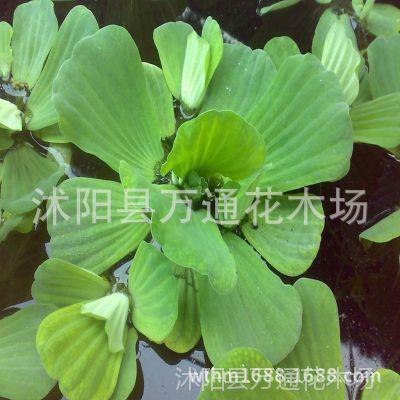 水芙蓉苗 夏季直销 水芙蓉 水生植物 水生花卉 清洁河流 盆栽花卉