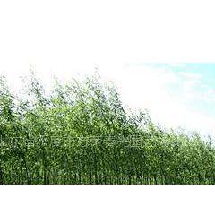 供应供应美国竹柳,柳树及竹柳插条,价格便宜