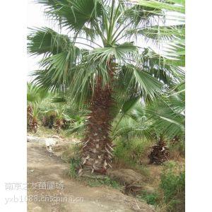 供应棕榈树价格更新