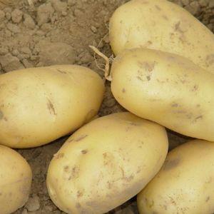 供应批发大量(脱毒土豆种)