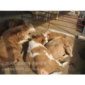 供应福建肉牛犊养殖-福建肉牛犊价格-兴和牧业肉牛养殖基地