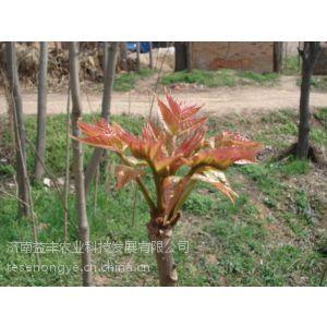 供应香椿种子批发香椿种子供应到济南益丰农业种子热销