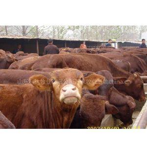 供应广西养牛基地肉牛养殖成本计算分析