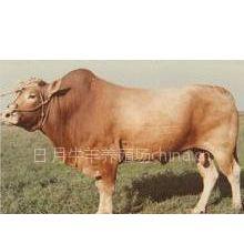 供应种牛的饲养与管理