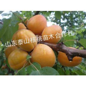 供应杏苗,杏苗价格,珍珠油杏,果树小苗
