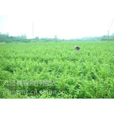 供应批发红榉小苗、红榉小苗价格、大量批发各类林木小苗