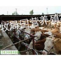 供应山西什么地方出售肉牛,山西哪里的肉牛价格便宜=山西肉牛养殖场真实报价