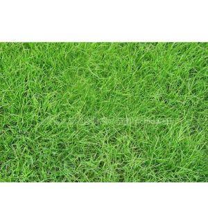 供应高尔夫草坪种子 高档草坪种子 运动场草坪种子四季青草坪种子