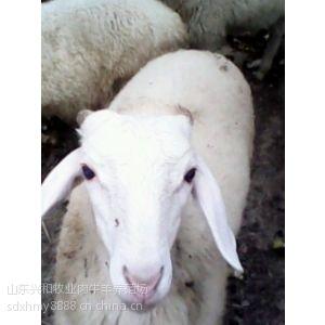 供应肉羊养殖技术-高腿小尾寒羊养殖-寒羊羔价格