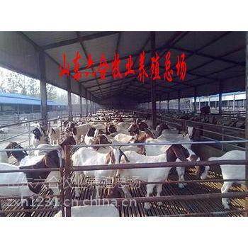 供应波尔山羊 波尔山羊怀孕母羊 奶山羊 白山羊 山东波尔山羊养殖场