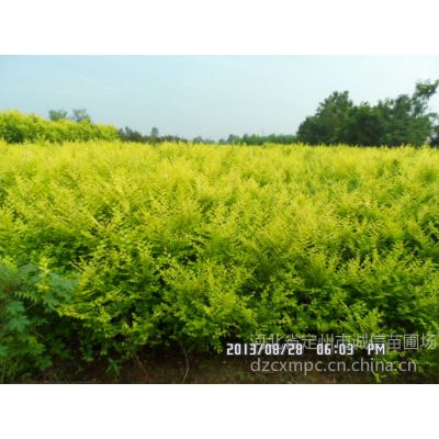 供应出售丛生金叶榆盆装金叶榆大量金叶榆促销