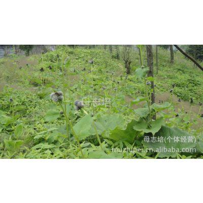供应云木香植物原药材根茎