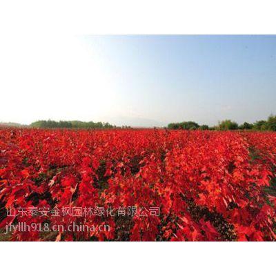红点红枫,美国红点红枫,红点红枫生长速度