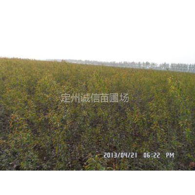供应保定山杏树苗常年供应山杏苗价格