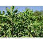 供应山东高产优质饲料品种-苦买菜牧草种子