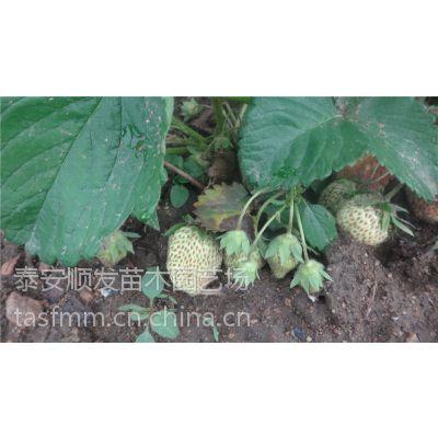 青岛草莓苗品种,脱毒草莓苗,红颜草莓苗价格