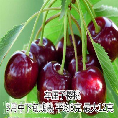 拉宾斯樱桃苗基地 优质樱桃苗 山东泰东园艺场