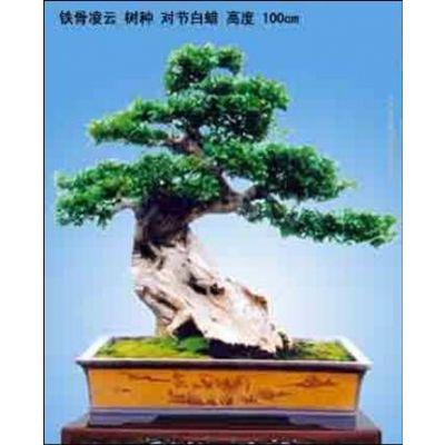 供应对节白腊树种子,大型对节白蜡景点大树和盆景生产基地