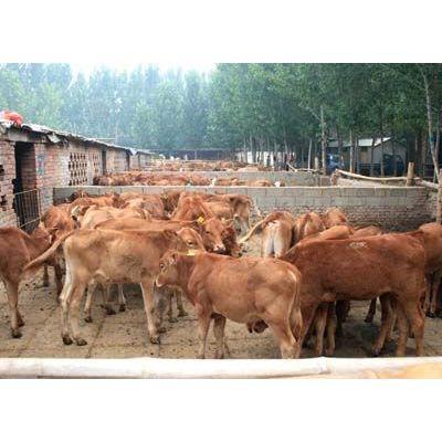 供应肉牛拉稀水泻该怎么治肉羊技术肉驴养殖顺龙养马场