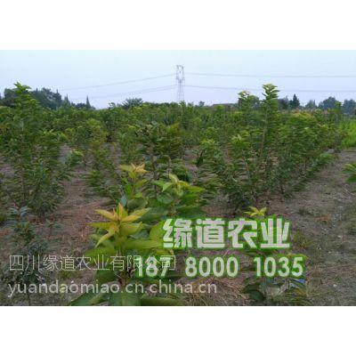 重庆大樱桃苗,重庆大樱桃苗价格,2年大樱桃树苗批发