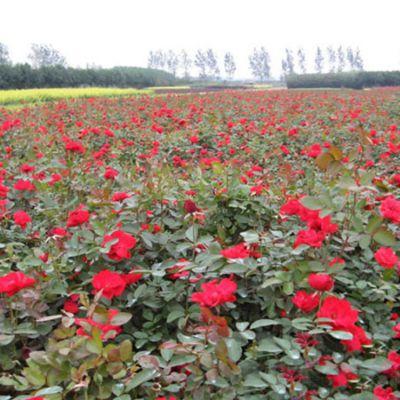 常年供应红帽月季 红帽月季小苗 工程苗 基地直销 绿化庭院观赏花卉