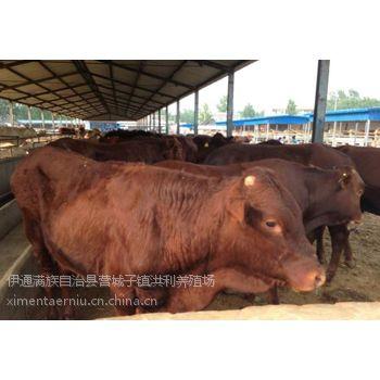 哪里有卖利木赞牛的 哪里有利木赞牛大型养殖场 纯种利木赞牛