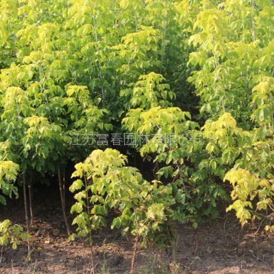 长期批发经销优质复叶槭金叶糖槭规格齐全价格优惠产地直销