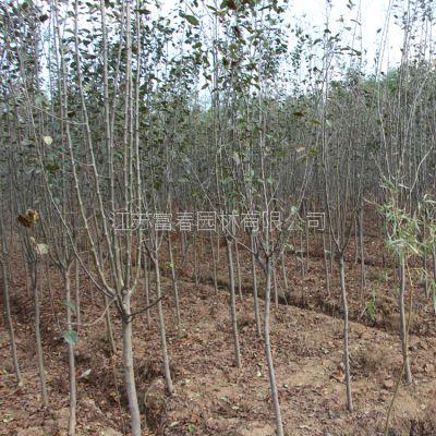 绿化苗木西府海棠 西府海棠树 名贵树苗 低价批发 大规格 量大优惠