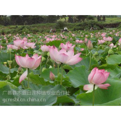基地批发 江西纯种高产莲蓬种苗藕种