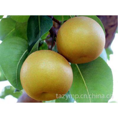 供应哪里有优质梨树苗,梨树苗价格,山东梨树苗基地
