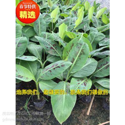 正宗西贡蕉苗丨贵州大型香蕉育苗基地丨发往贵州二级西贡蕉杯苗丨威廉斯B6供应商