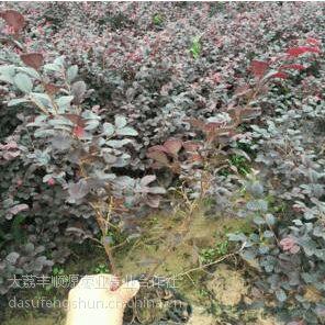 垂柳80-90cm/垂柳500棵
