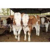供应内蒙古肉牛价格小尾寒羊价格兴和养牛基地