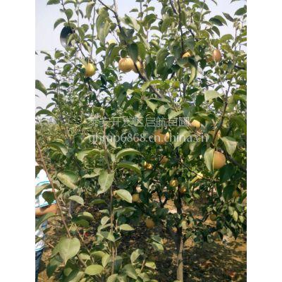 1公分梨树,山东梨树苗种植基地,2年秋月梨价格