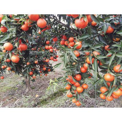 供应柑桔品种世纪红