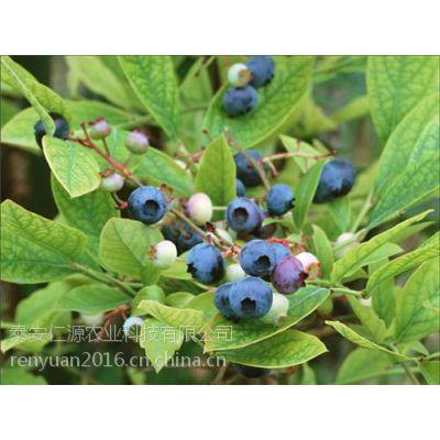 仁源农业科技(在线咨询)_徐州市蓝莓苗_蓝莓苗品种