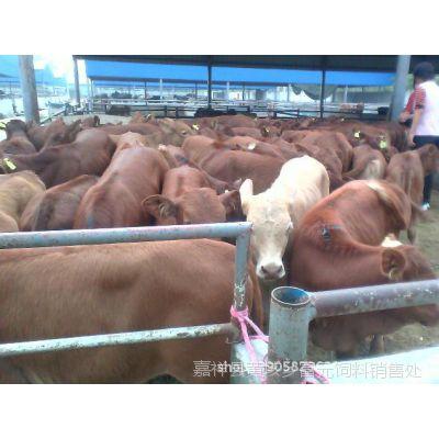小牛犊 西门塔尔牛 肉食牛养殖销售基地