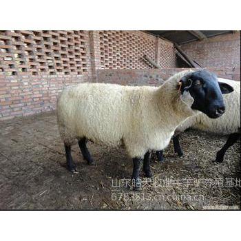 供应供应小尾寒羊育肥的时间,出栏能长多重,皓天大型养羊场