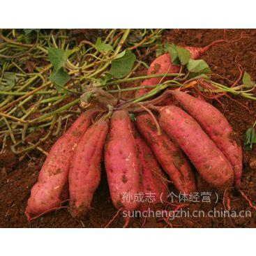 供应红薯价格|红薯产地|大量供应山东优质红薯