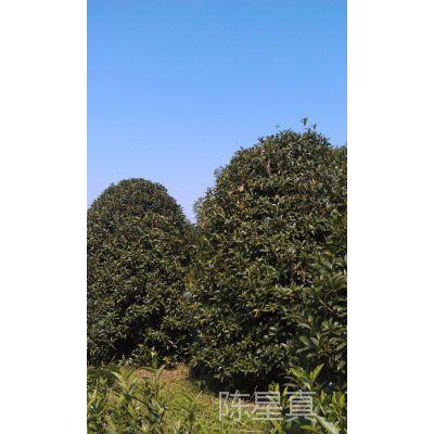 浙江温州八月桂花【金桂、丹桂、四季桂】园林工程绿化用苗木