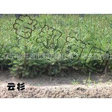 供应云杉|优质云杉柏树|常青苗木供应|东北耐寒小乔木|辽宁园林乔木|批发求购价格信息