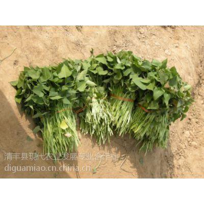 新乡红薯苗 红薯苗的培育方法 濮阳现代农业