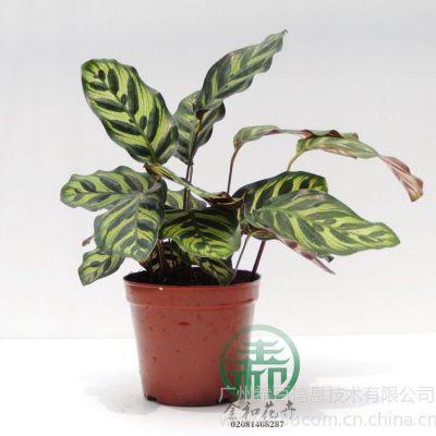 供应孔雀竹芋,包装尺寸:26~35厘米 40*40*30