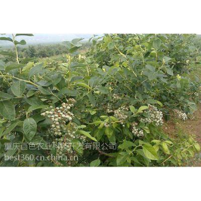 百色农业(图)_蓝莓幼苗价格_重庆蓝莓幼苗