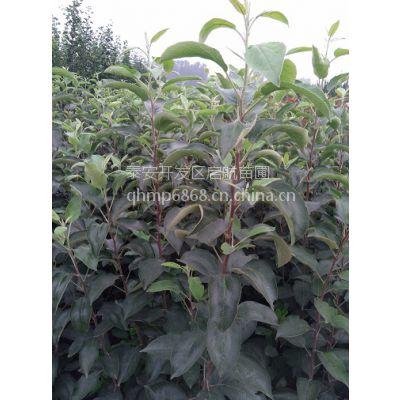 山东秋月梨苗,秋月梨树苗。1米秋月梨树苗价格