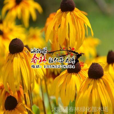 供应批发 进口花卉种子 黑心菊种子 菊花种子 园林地被花卉 包发芽率