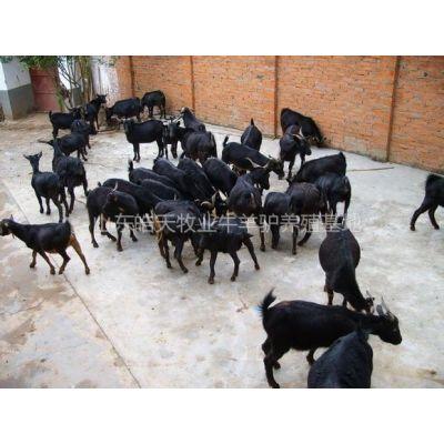 供应成年怀孕的波尔山羊多少钱一只,皓天种羊养殖基地