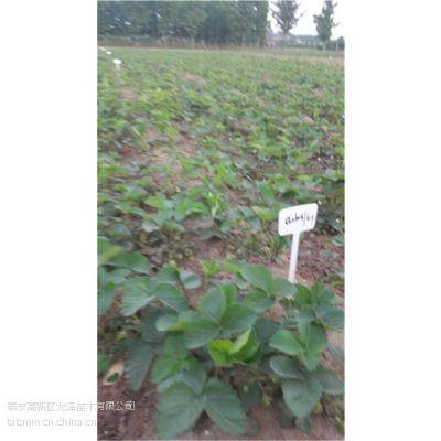 优质法兰地草莓苗_玉林法兰地草莓苗_泰安龙泽苗木(在线咨询)